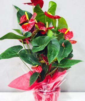 Anthurium Rojo · Plantas Decorativas · Floristería Los Santos Niños · Alcalá de Henares · Madrid