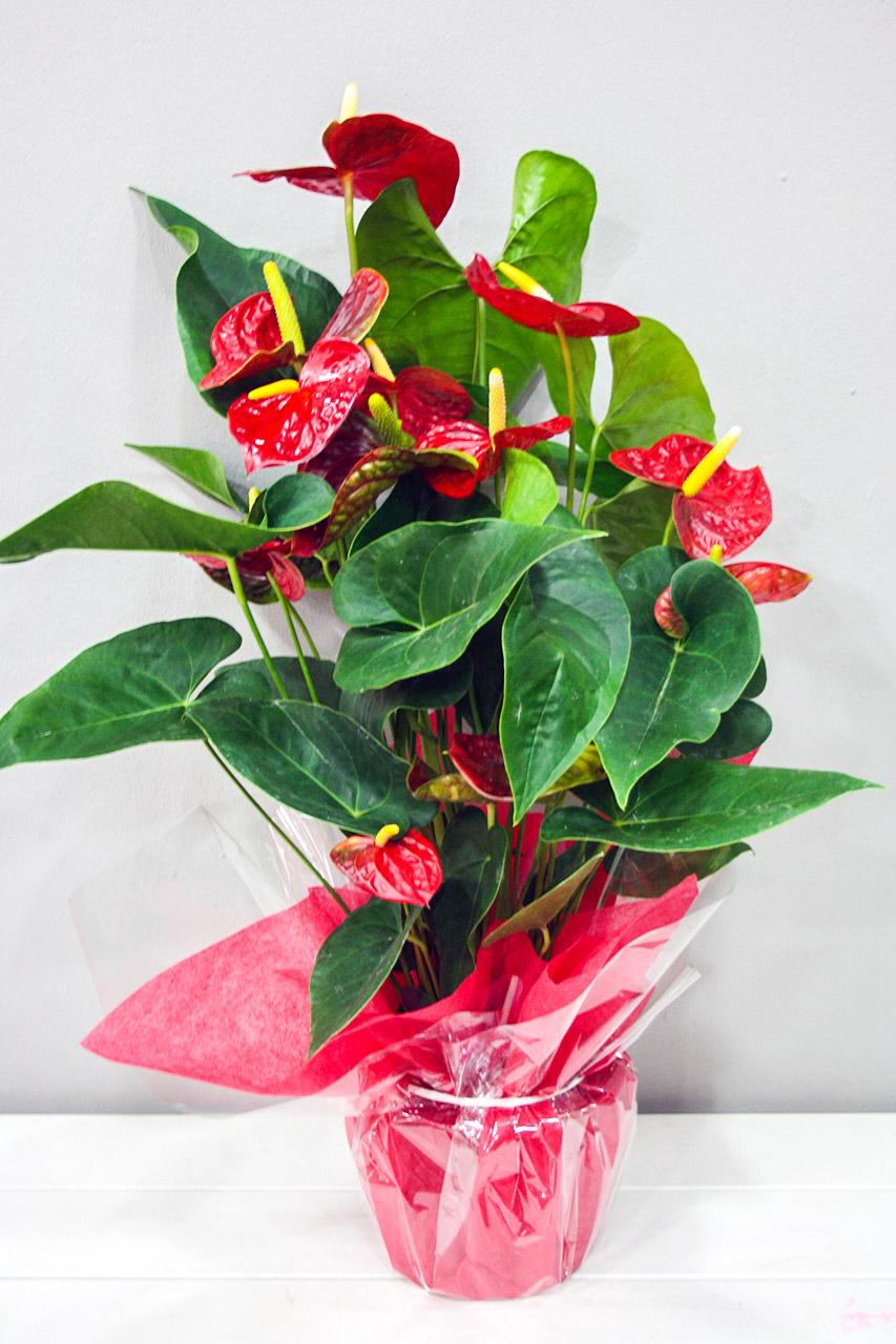 Anthurium rojo floristeria los santos ni os for Plantas decorativas