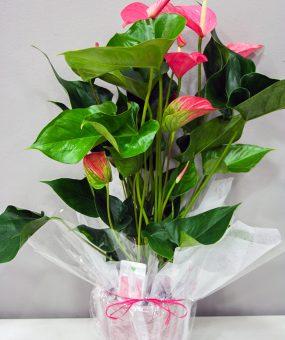 Anthurium Rosa · Plantas Decorativas · Floristería Los Santos Niños · Alcalá de Henares · Madrid· Floristería Los Santos Niños · Alcalá de Henares · Madrid