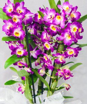 Dendrobium Fucsia · Plantas Decorativas · Floristería Los Santos Niños · Alcalá de Henares · Madrid