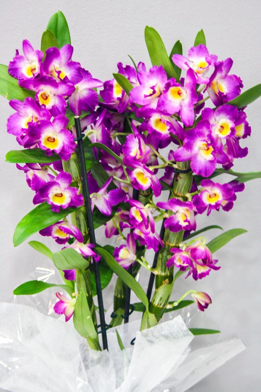 Dendrobium fucsia floristeria los santos ni os for Plantas decorativas