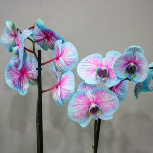 Orquídea Azul · Plantas Decorativas · Floristería Los Santos Niños · Alcalá de Henares · Madrid