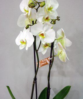 Orquídea Blanca · Floristería Los Santos Niños · Alcalá de Henares · Madrid