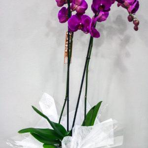 Orquídea Fucsia · Floristería Los Santos Niños · Alcalá de Henares · Madrid· Floristería Los Santos Niños · Alcalá de Henares · Madrid