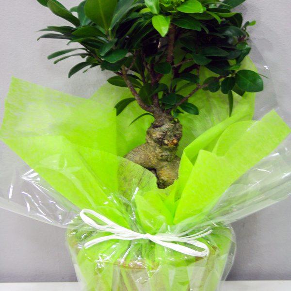 Bonsai Ficus Ginseng · Plantas Decorativas · Floristería Los Santos Niños · Alcalá de Henares · Madrid