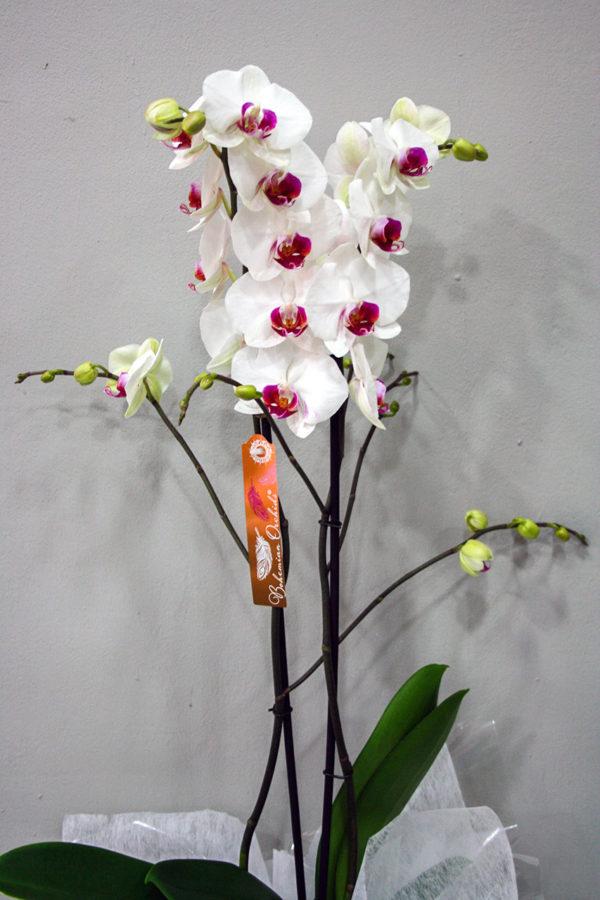 Orquídea Blanca Centro Morado · Floristería Los Santos Niños · Alcalá de Henares · Madrid· Floristería Los Santos Niños · Alcalá de Henares · Madrid· Floristería Los Santos Niños · Alcalá de Henares · Madrid