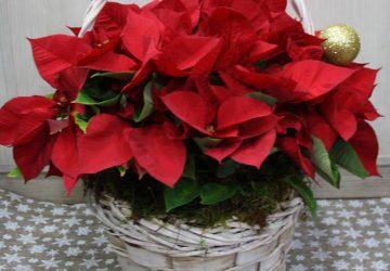 Sorteamos 1 Cesta navideña de Poinsettias · Floristería Los Santos Niños · Alcalá de Henares · Madrid